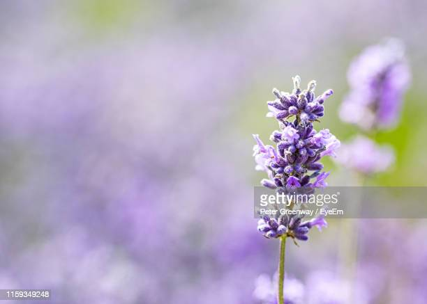 close-up of purple flowering plant - lavender color stock pictures, royalty-free photos & images