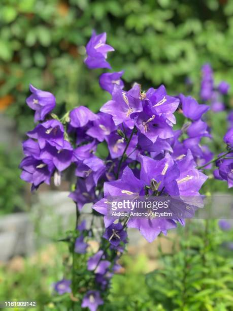 close-up of purple flowering plant - antonov stock pictures, royalty-free photos & images