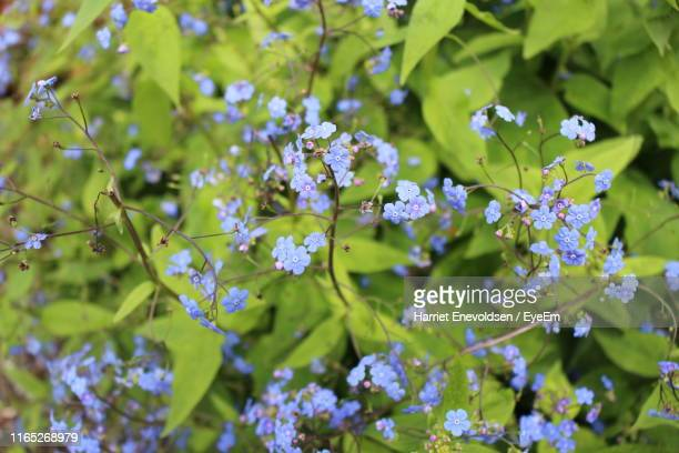 close-up of purple flowering plant - harriet stock photos and pictures