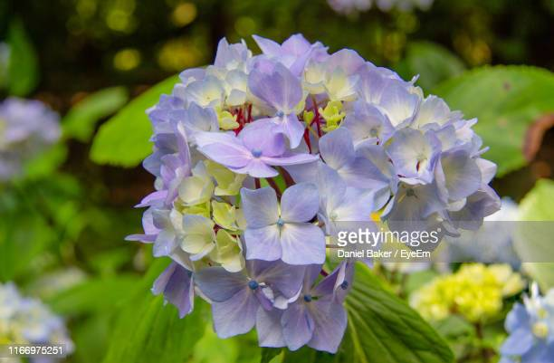 close-up of purple flowering plant - tetbury stock pictures, royalty-free photos & images