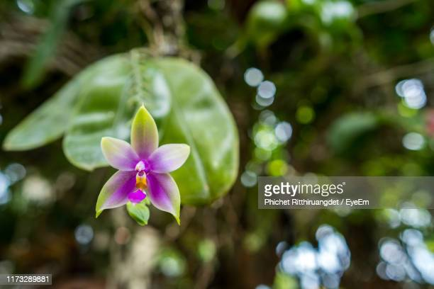 close-up of purple flowering plant - phichet ritthiruangdet stock photos and pictures
