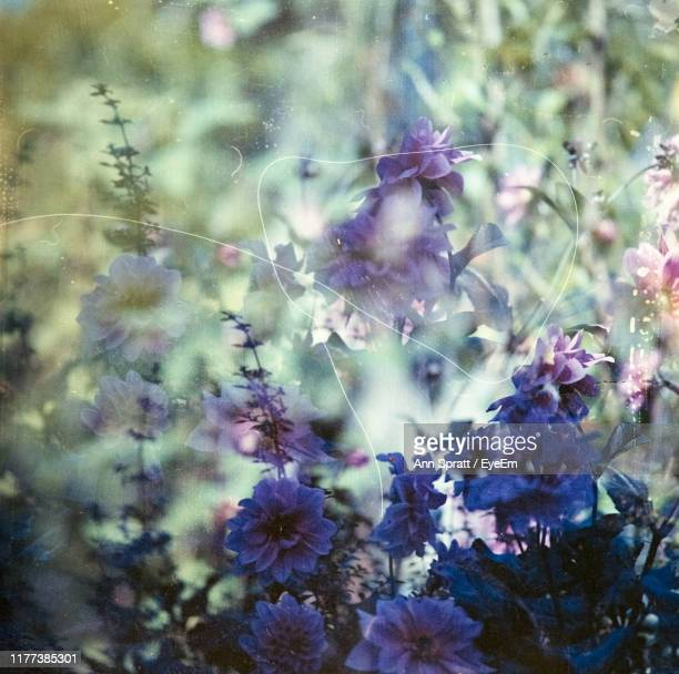 close-up of purple flowering plant - cross processed stock pictures, royalty-free photos & images