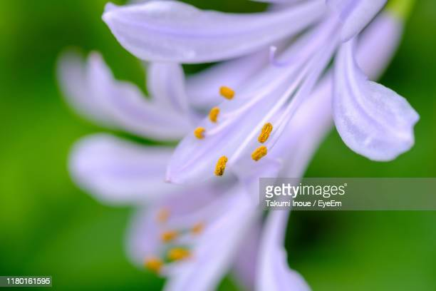 close-up of purple flowering plant - inoue stock photos and pictures