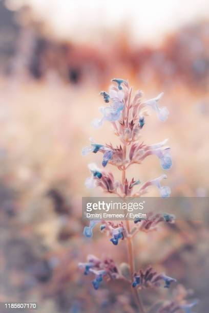 close-up of purple flowering plant - botany stock pictures, royalty-free photos & images