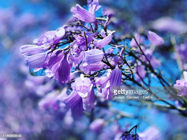 close-up of purple flowering plant - jacaranda tree stock pictures, royalty-free photos & images