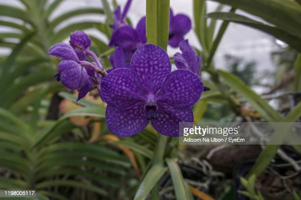 close-up of purple flowering plant - vanda stock pictures, royalty-free photos & images