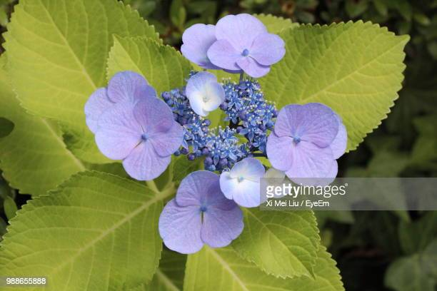 close-up of purple flowering plant - lantana stock pictures, royalty-free photos & images