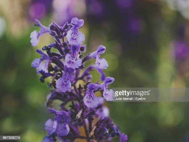 close-up of purple flowering plant - catmint stock pictures, royalty-free photos & images