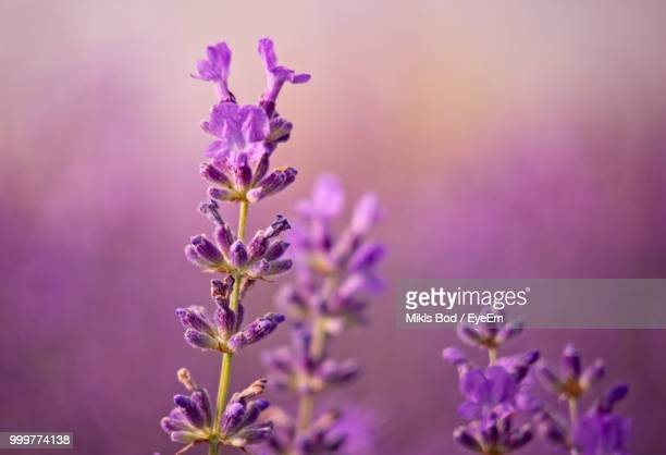 close-up of purple flowering plant - lavender plant stock pictures, royalty-free photos & images