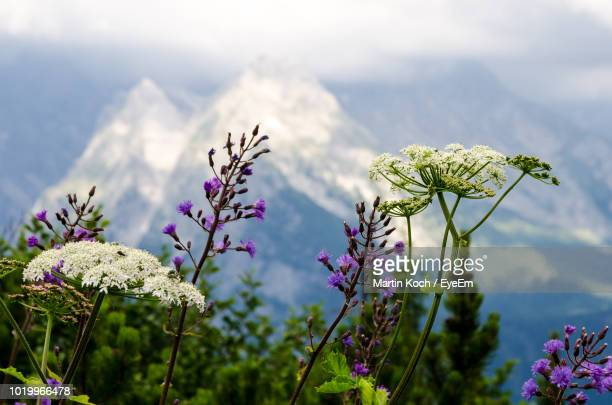 close-up of purple flowering plants against sky - berchtesgaden stock-fotos und bilder