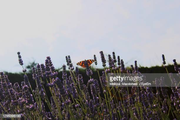 close-up of purple flowering plants and butterfly on field against sky - dundee scotland stock pictures, royalty-free photos & images