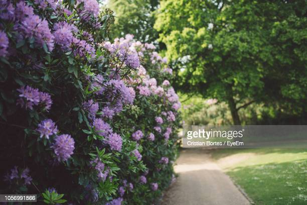 close-up of purple flowering plants in park - ライラック ストックフォトと画像