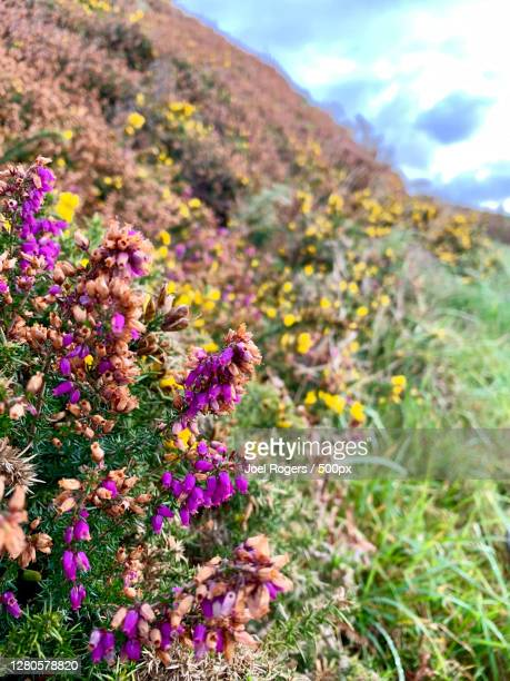 close-up of purple flowering plants on field against sky - joel rogers stock pictures, royalty-free photos & images
