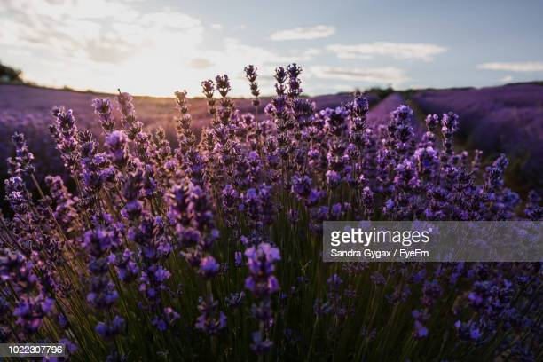 close-up of purple flowering plants on field - sandra gygax stock-fotos und bilder