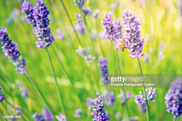 close-up of purple flowering plants on field - king's lynn stock pictures, royalty-free photos & images
