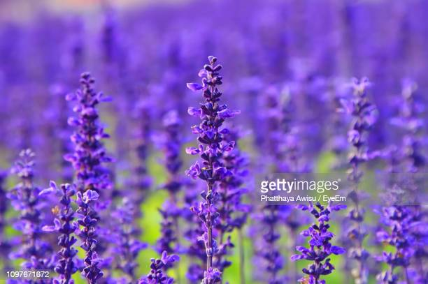 close-up of purple flowering plants on field - lavender stock pictures, royalty-free photos & images