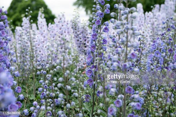 close-up of purple flowering plants on field - delphinium stock pictures, royalty-free photos & images