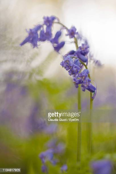 close-up of purple flowering plants on field - giusti claudia stockfoto's en -beelden