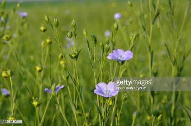 close-up of purple flowering plants on field - salah stock photos and pictures