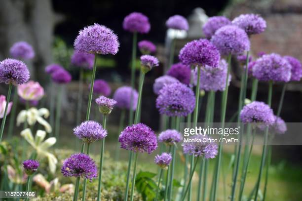 close-up of purple flowering plants on field - allium flower stock pictures, royalty-free photos & images
