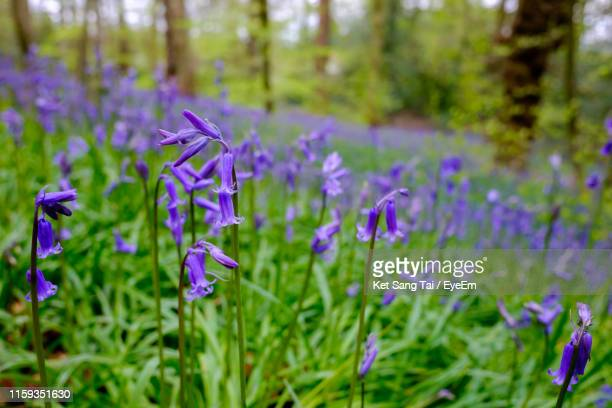 close-up of purple flowering plants on field - bluebell stock pictures, royalty-free photos & images