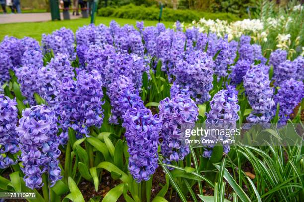 close-up of purple flowering plants on field - hyacinth stock pictures, royalty-free photos & images