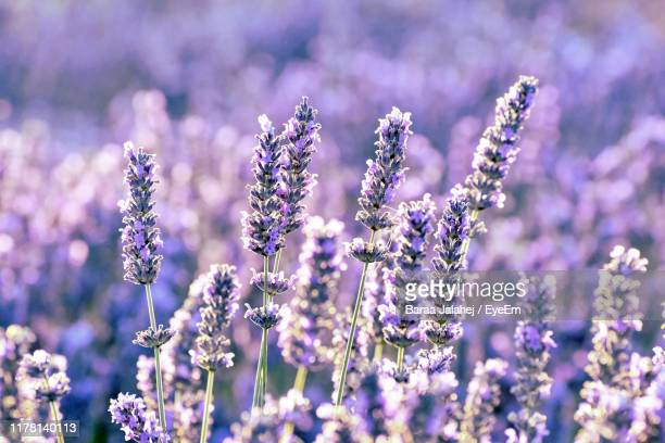 close-up of purple flowering plants on field - lavender color stock pictures, royalty-free photos & images