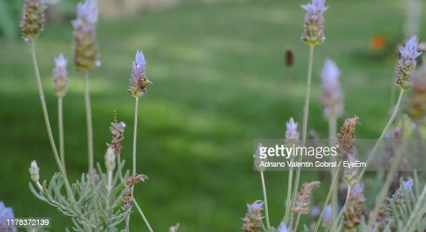 close-up of purple flowering plants on field - sorocaba stock pictures, royalty-free photos & images