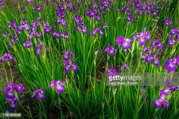 close-up of purple flowering plants on field - valley stock pictures, royalty-free photos & images