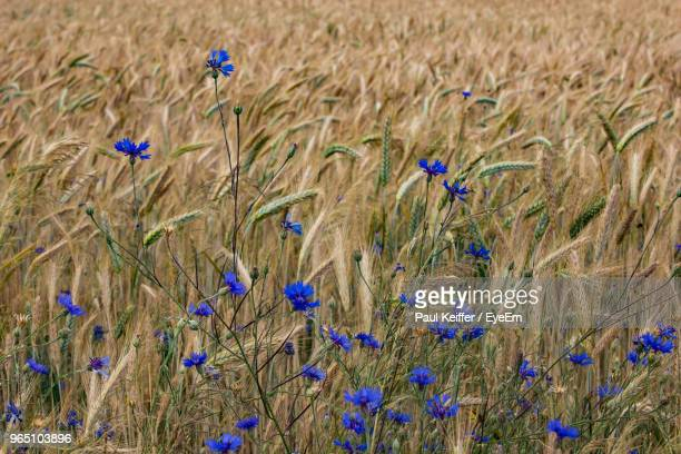 close-up of purple flowering plants on field - keiffer stock pictures, royalty-free photos & images