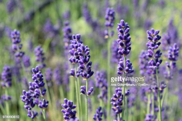 close-up of purple flowering plants on field - flowering plant stock pictures, royalty-free photos & images