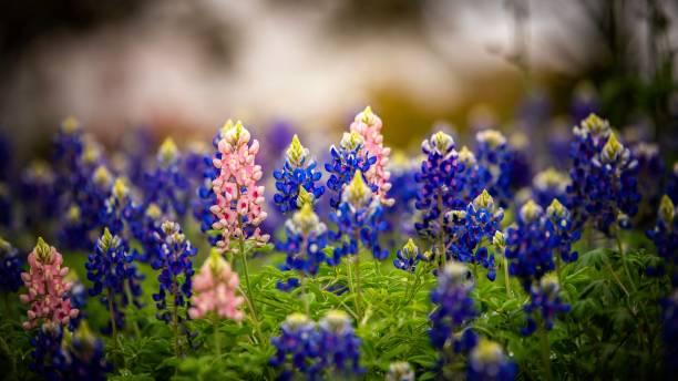 Close-up of purple flowering plants on field,San Antonio,Texas,United States,USA