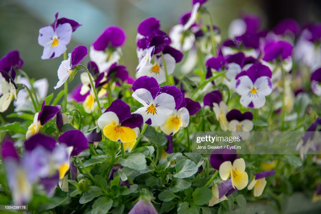Close-Up Of Purple Flowering Plants : Stock-Foto