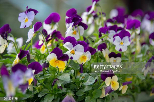 close-up of purple flowering plants - jens siewert stock-fotos und bilder