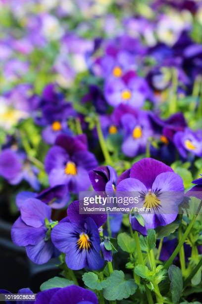 close-up of purple flowering plants - pansy stock pictures, royalty-free photos & images