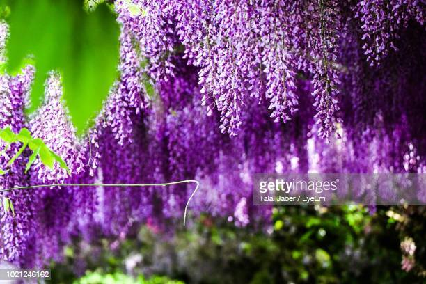 close-up of purple flowering plants - glycine photos et images de collection