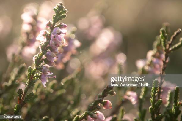 close-up of purple flowering plants - lüneburg stock pictures, royalty-free photos & images