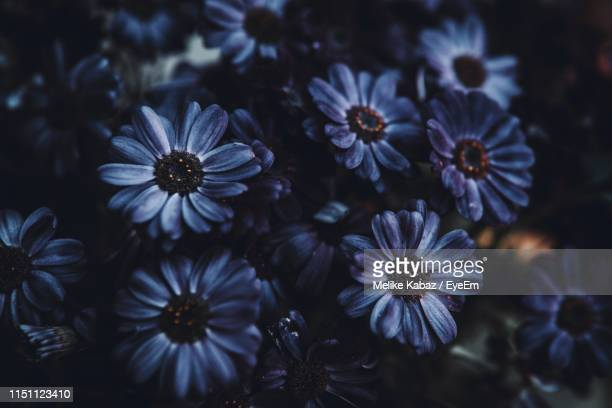 close-up of purple flowering plants - melike stock pictures, royalty-free photos & images