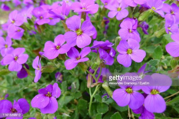 close-up of purple flowering plants - nord frankrijk stockfoto's en -beelden
