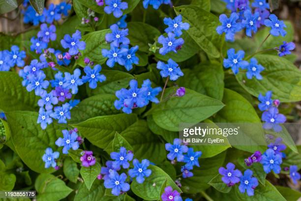 close-up of purple flowering plants - forget me not stock pictures, royalty-free photos & images