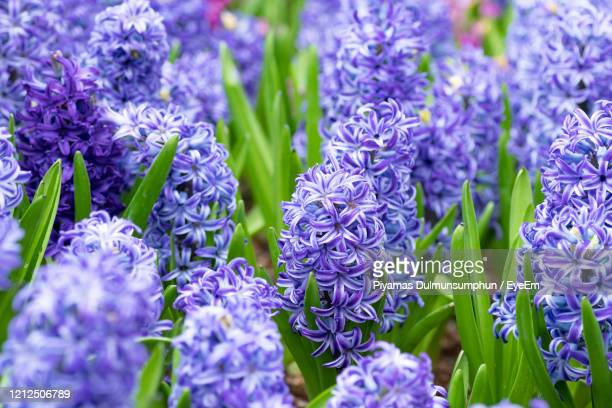 close-up of purple flowering plants - hyacinth stock pictures, royalty-free photos & images