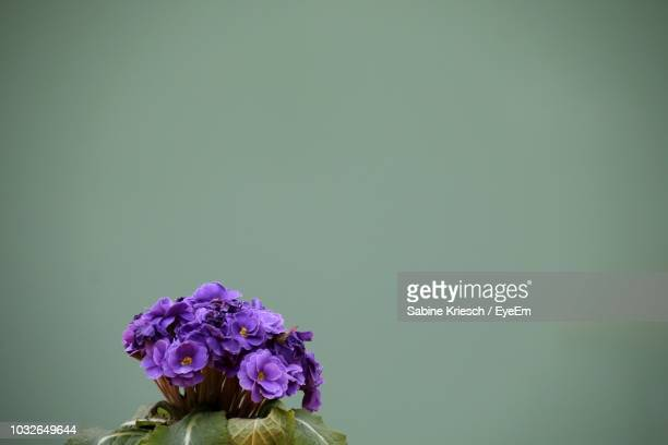 close-up of purple flowers against wall - sabine kriesch stock-fotos und bilder