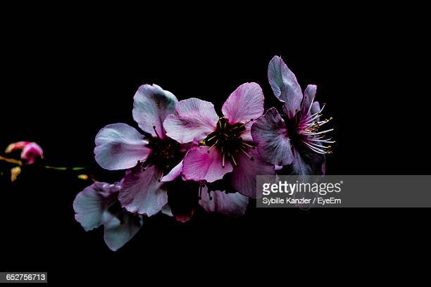 close-up of purple flowers blooming against black background - flower head stock photos and pictures