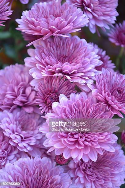close-up of purple flowers blooming in garden - chrysanthemum - fotografias e filmes do acervo