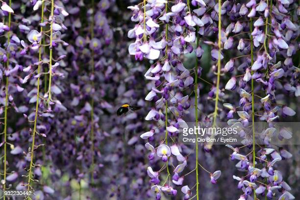 close-up of purple flowers blooming on tree - glycine photos et images de collection