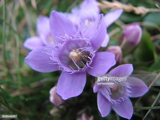 close-up of purple flowers blooming outdoors - bortes cristian stock-fotos und bilder