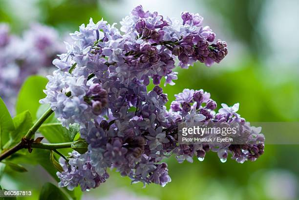close-up of purple flowers blooming outdoors - piotr hnatiuk foto e immagini stock