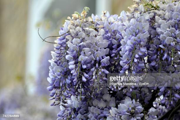 close-up of purple flowers blooming outdoors - glycine photos et images de collection