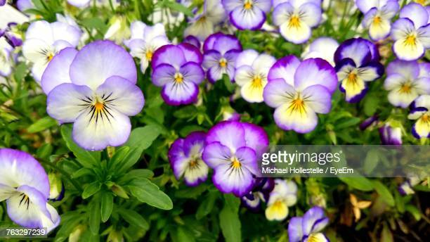 close-up of purple flowers blooming outdoors - pansy stock pictures, royalty-free photos & images