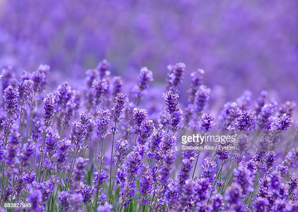 Close-Up Of Purple Flowers Growing On Field